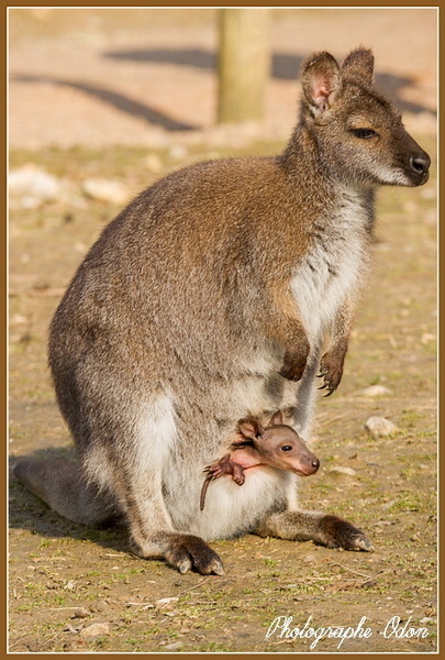067_Wallaby.jpg