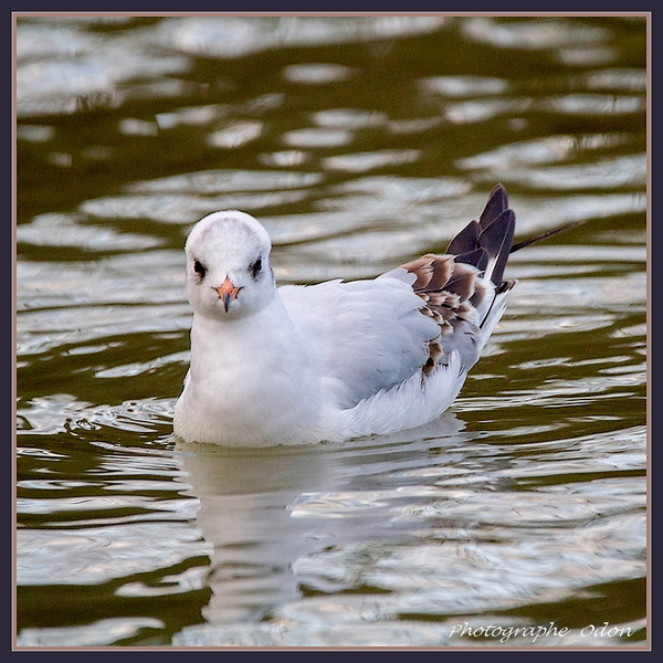 0188_Mouette_tridactyle.jpg