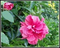 Hibiscus Rose Double