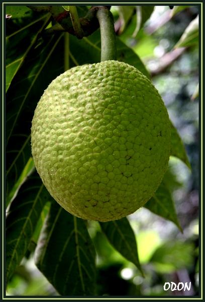 fruit a pain l gume fruit de l arbre pain de couleur vert pictures to pin on pinterest. Black Bedroom Furniture Sets. Home Design Ideas